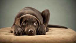 FitBark_Labrador_Chocolate_Pain_Sick-uai-258x145 | How can I train my pup more effectively for dog sports?