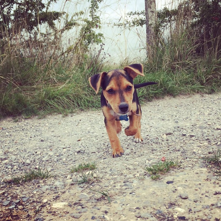 FitBark_smalldog_puppy_running-900x900 | What Daily FitBark Goal Should I Set For My Dog?