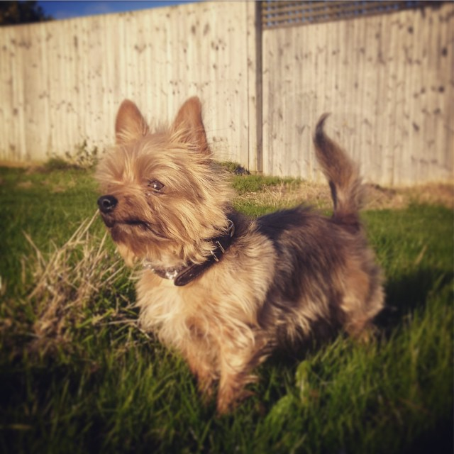 FitBark_smalldog_yorkie | What Daily FitBark Goal Should I Set For My Dog?