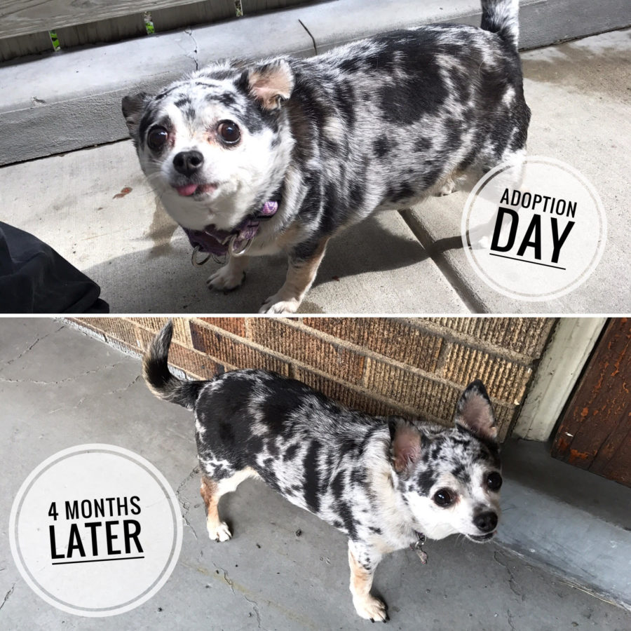 FitBark_Luseal_weight_chihuahua_before_after-900x900 | Lu-Seal's Amazing Journey