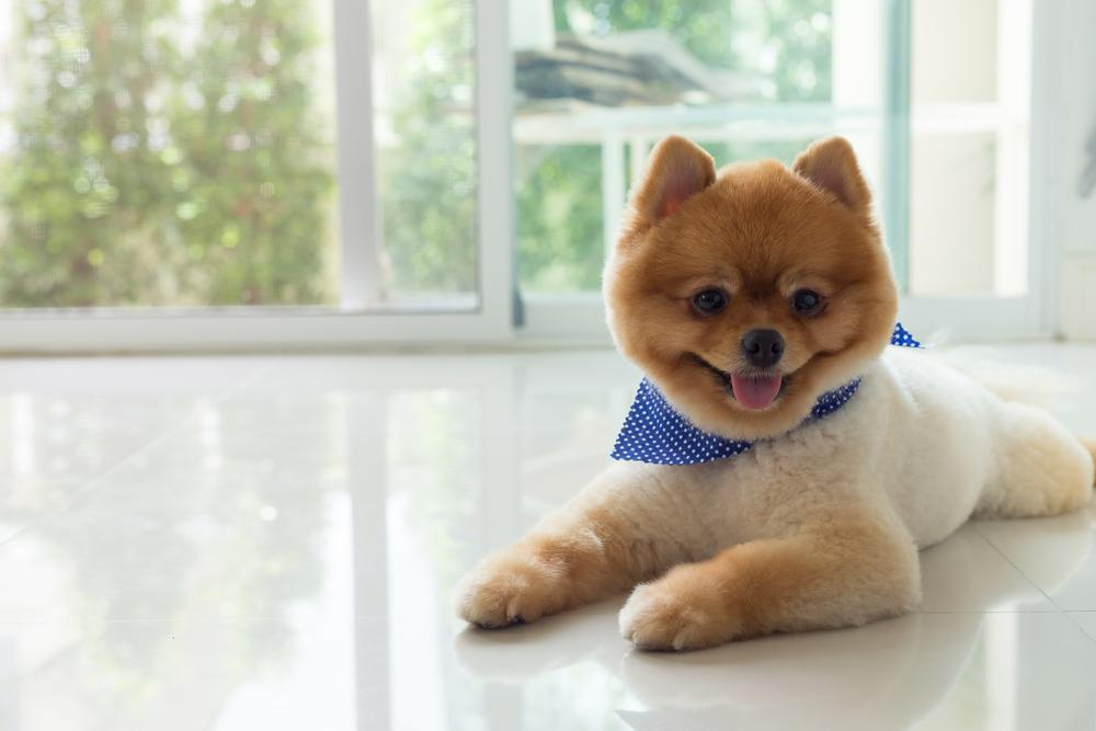 FitBark_pomeranian_bandana_smiling | How To Help Your Dog Transition Better When Moving Into A New Home