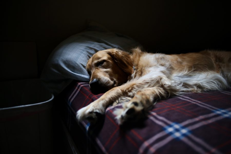 FitBark_bigdog_small_space2-900x600 | Tips to Make Your Big Dog Comfortable in a Small Flat