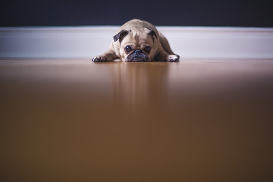 FitBark_pug_floor_sad-900x600 | Five Benefits of Buying a Bed for Your Dog