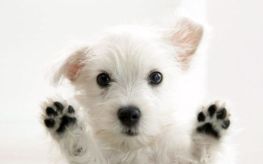 FitBark_puppy_white-900x563 | 5 Things to Consider Before Getting a New Puppy