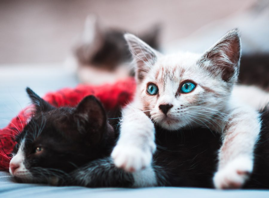 FitBark_cats_kittens-900x664 | Pets and Probiotics: What You Need to Know