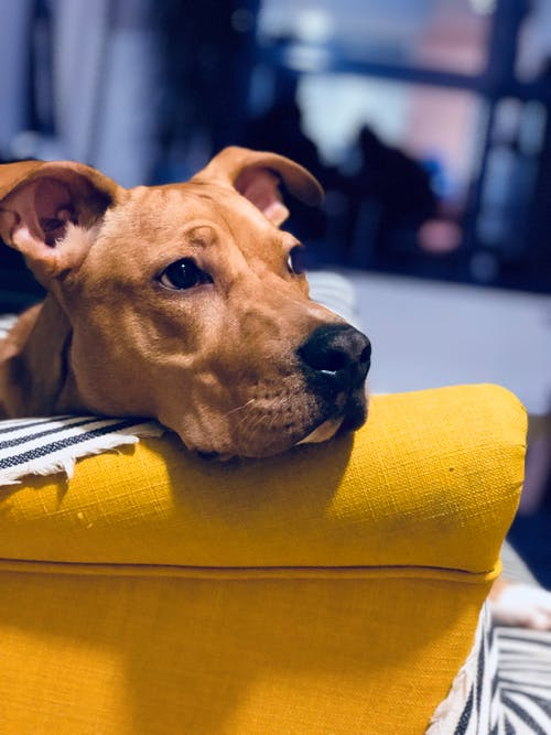 FitBark_dog_couch | Dogs in the Workplace Mean Better Mental Health