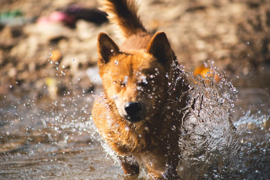 FitBark_dog_running_water_golden-900x600 | Dog Swimming Safety Tips