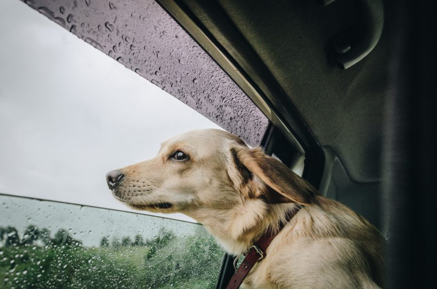 FitBark_dog_car_rain-900x596 | How to Convince Your Dog to go Out in the Rain