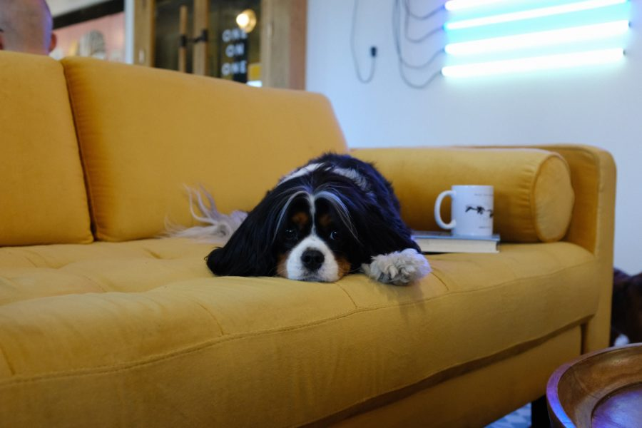 FitBark_dog_yellow_couch-900x600 | How To Make Your Home More Pet Friendly