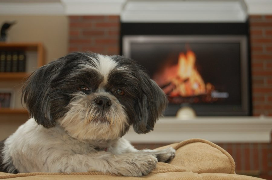 FitBark_shih_tzu_fireplace-900x598 | How To Make Your Home More Pet Friendly