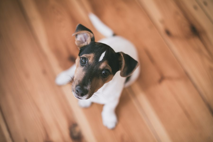 FitBark_jack_russel_floor-900x600 | How to Be a Dog Sitter if You Don't Own a Pet