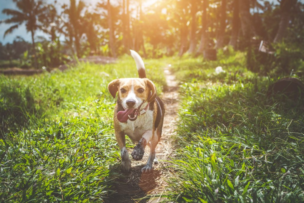 FitBark_beagle_running_outside-1030x687 | Separation Anxiety: How to Keep Your Dog Calm