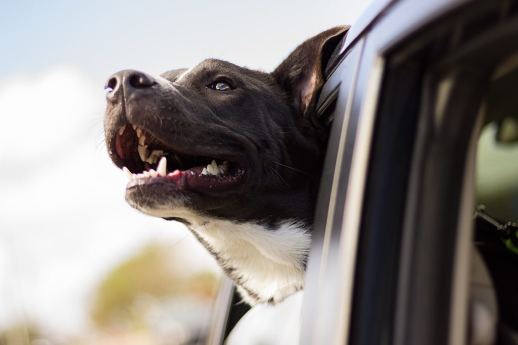 FitBark_car_dog_window-1030x687 | How To Travel With Pets For The Holidays Without Anxiety