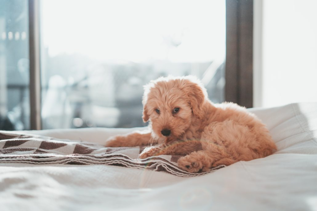FitBark_cockapoo_bed-1030x687 | Which Pet Would Meghan Markle Prefer?