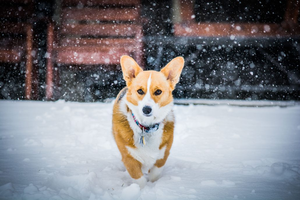 FitBark_corgi_snow-1030x687 | Which Pet Would Meghan Markle Prefer?