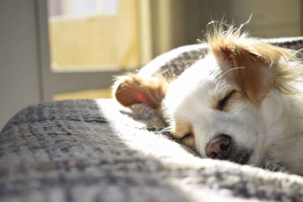 FitBark_dog_white_sleeping-1030x687 | Separation Anxiety: How to Keep Your Dog Calm