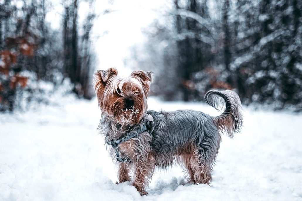 FitBark_dog_small_snow-1030x687 | How To Travel With Pets For The Holidays Without Anxiety