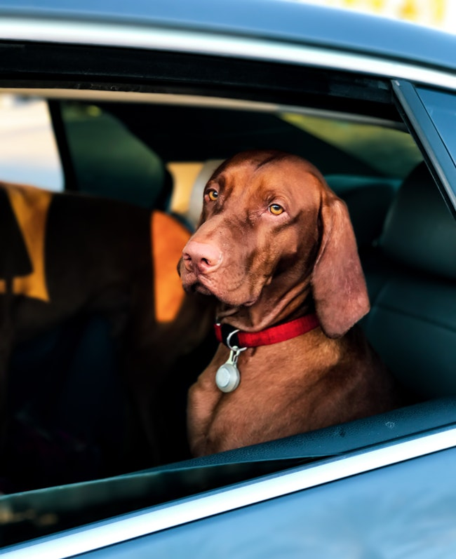 FitBark_vizsla_car_window | Tips & Tricks for Traveling With Your Dog