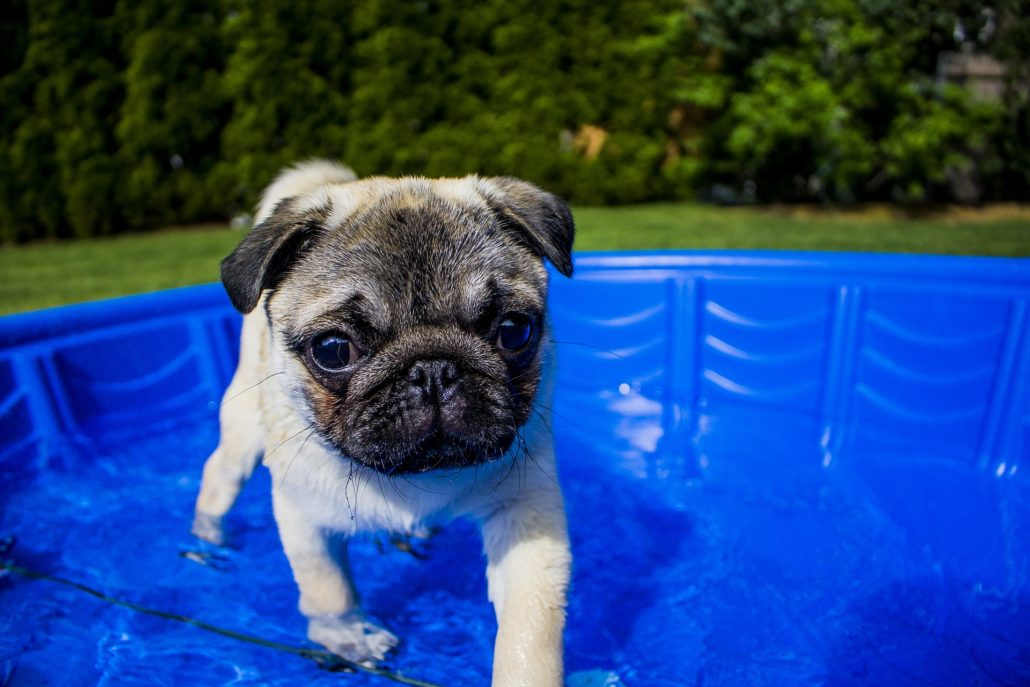 FitBark_pug_swimming_pool-1030x687 | How Can You Make The Pool Safer For Your Swimming Dog?