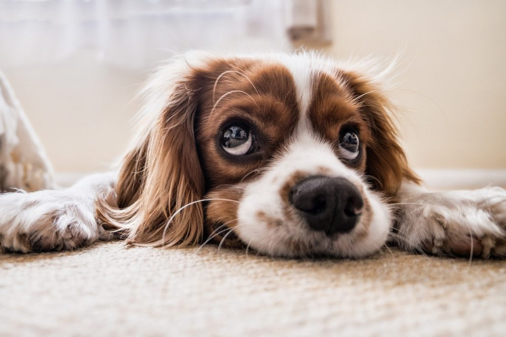 FitBark_dog_sad_floor-1030x686 | How Safe Is CBD for Your Pup?