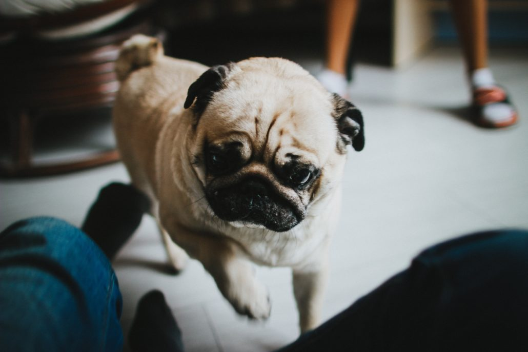 FitBark_pug_happy_walking-1030x687 | How Safe Is CBD for Your Pup?