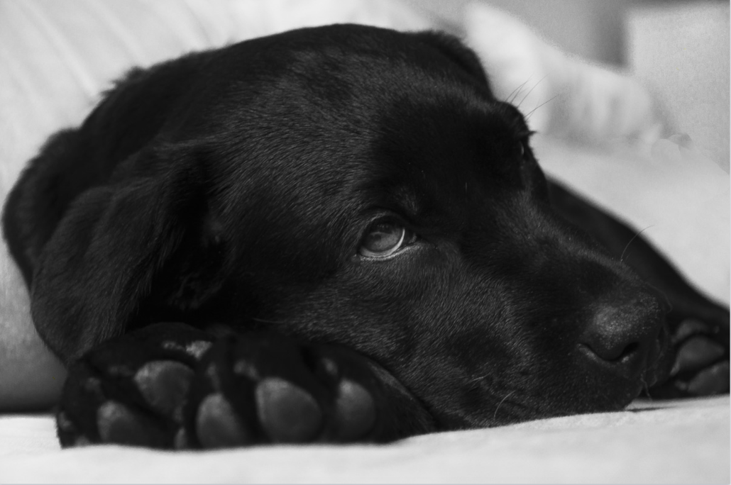 FitBark_black_lab-1030x684 | Vital Facts about Dog Epilepsy