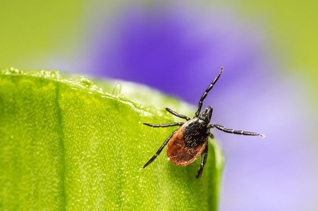 FitBark_tick_leaf-1030x686 | Facts You May Not Know About Lyme Disease in Dogs