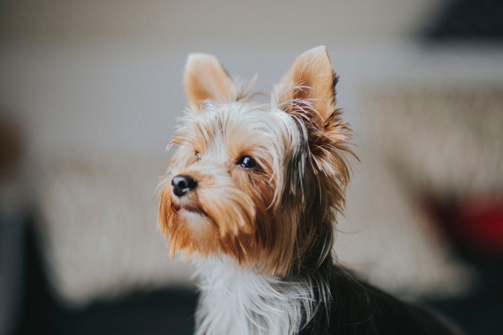 FitBark_yorkie_shallow_focus-1030x687 | What Every Dog Owner Should Know About Food Allergies