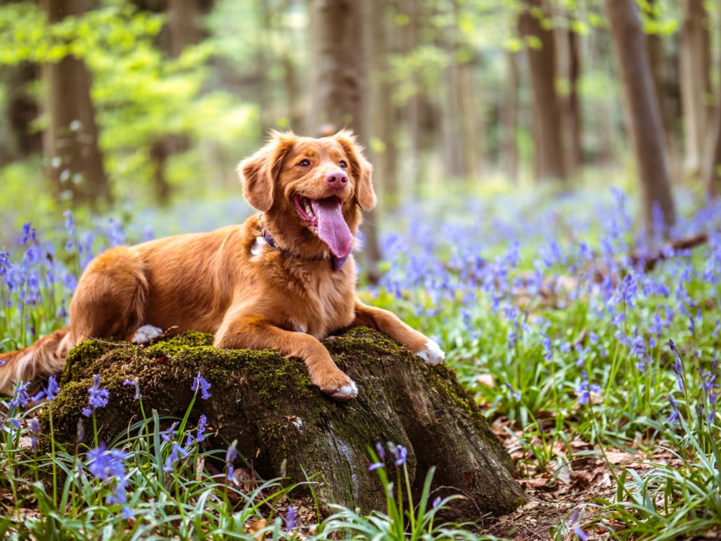 FitBark_dog_nature_bluebells-1030x773 | Are You Raising A Lazy Pet? Here Are Some Easy Steps To Keep Your Dog Active