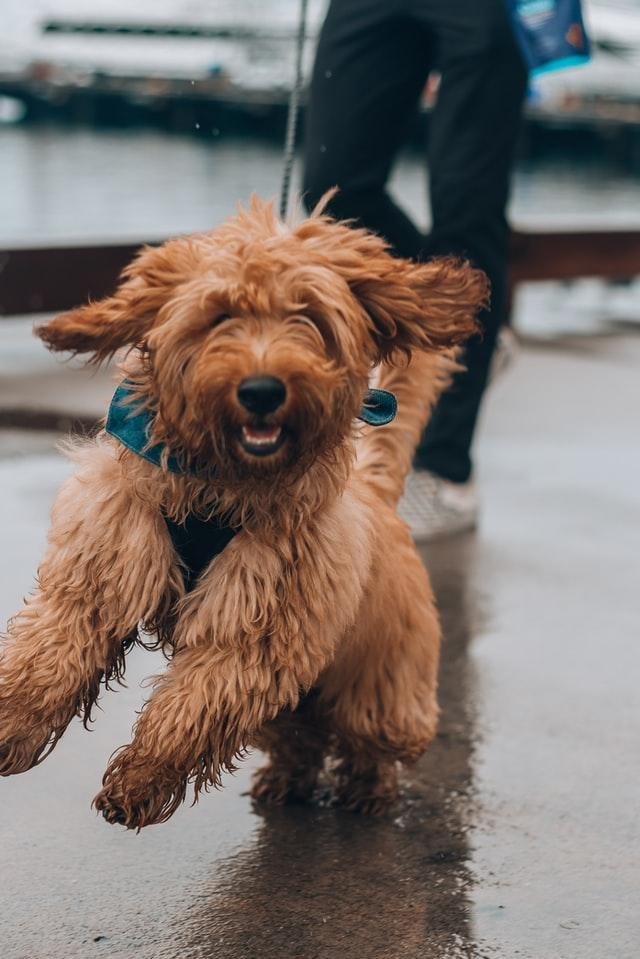 FitBark_dog_lead_happy | 5 Things To Consider Before Giving CBD To Your Dog