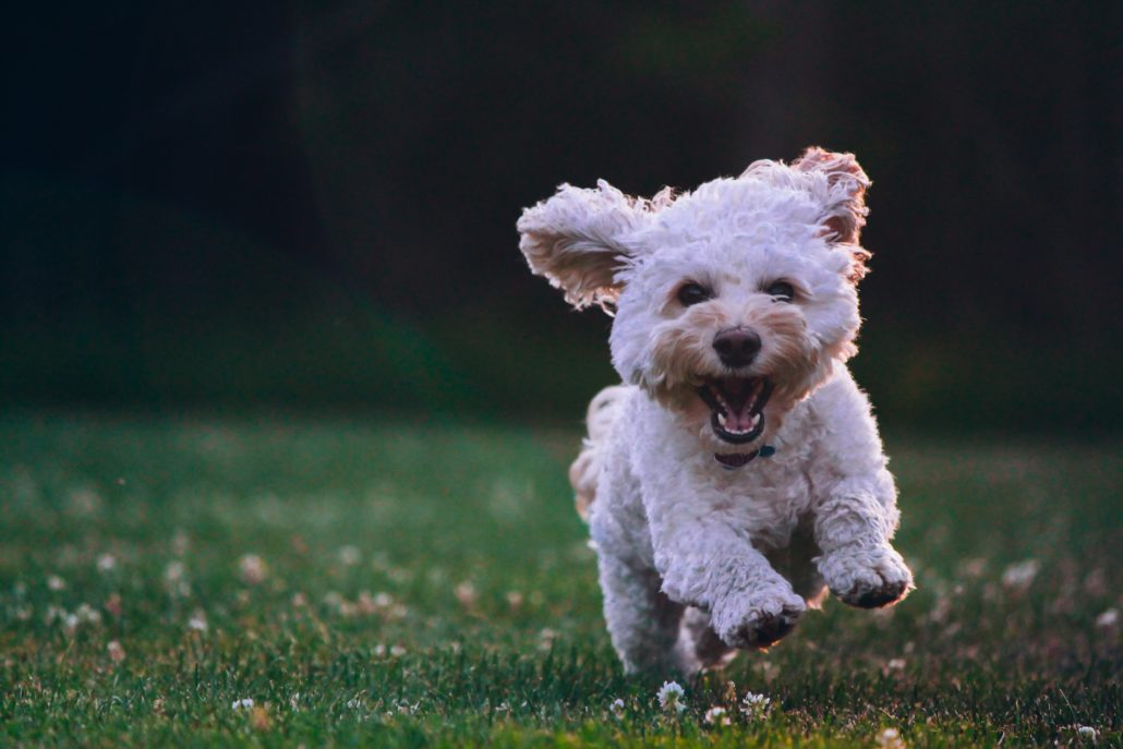 FitBark_white_dog_running_outside-1030x687 | Canines And Cannabis—Is CBD Safe For Your Pet?