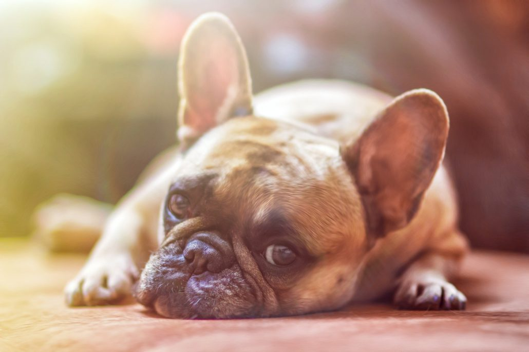 FitBark_French_bulldog_frenchie-1030x687 | Vaping And Pets: How To Store E-Juice Safely?