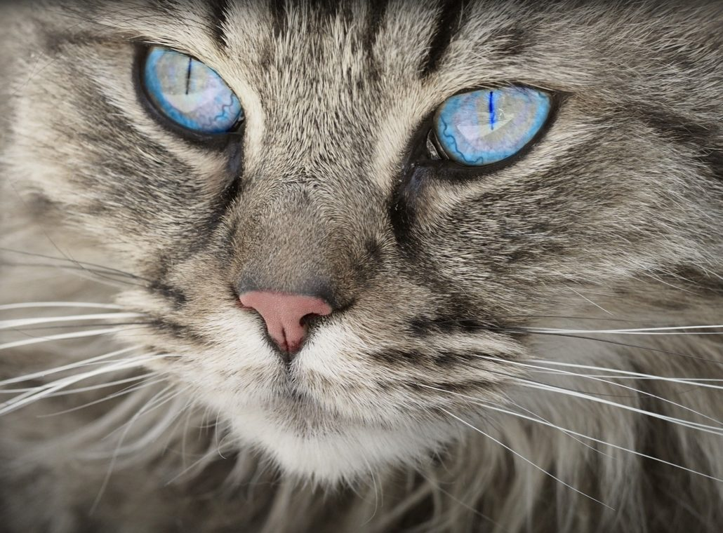FitBark_cat_blue_eyes-1030x760 | Vaping And Pets: How To Store E-Juice Safely?