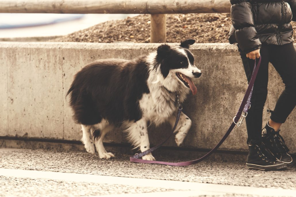FitBark_dog_walking_human_border_collie-1030x687 | Be a Responsible Pet Owner: 4 Tips for Socializing Your Dog