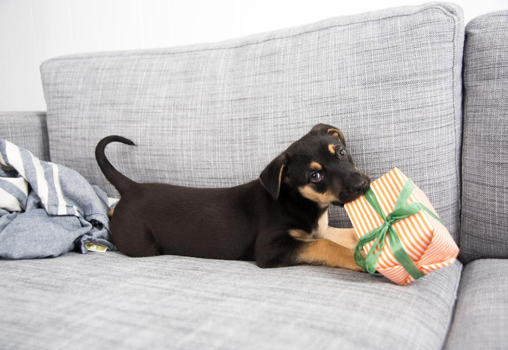 FitBark_puppy_couch_toy_gift   8 Ways to Celebrate Your Dog's (or Cat's) Gotcha Day!