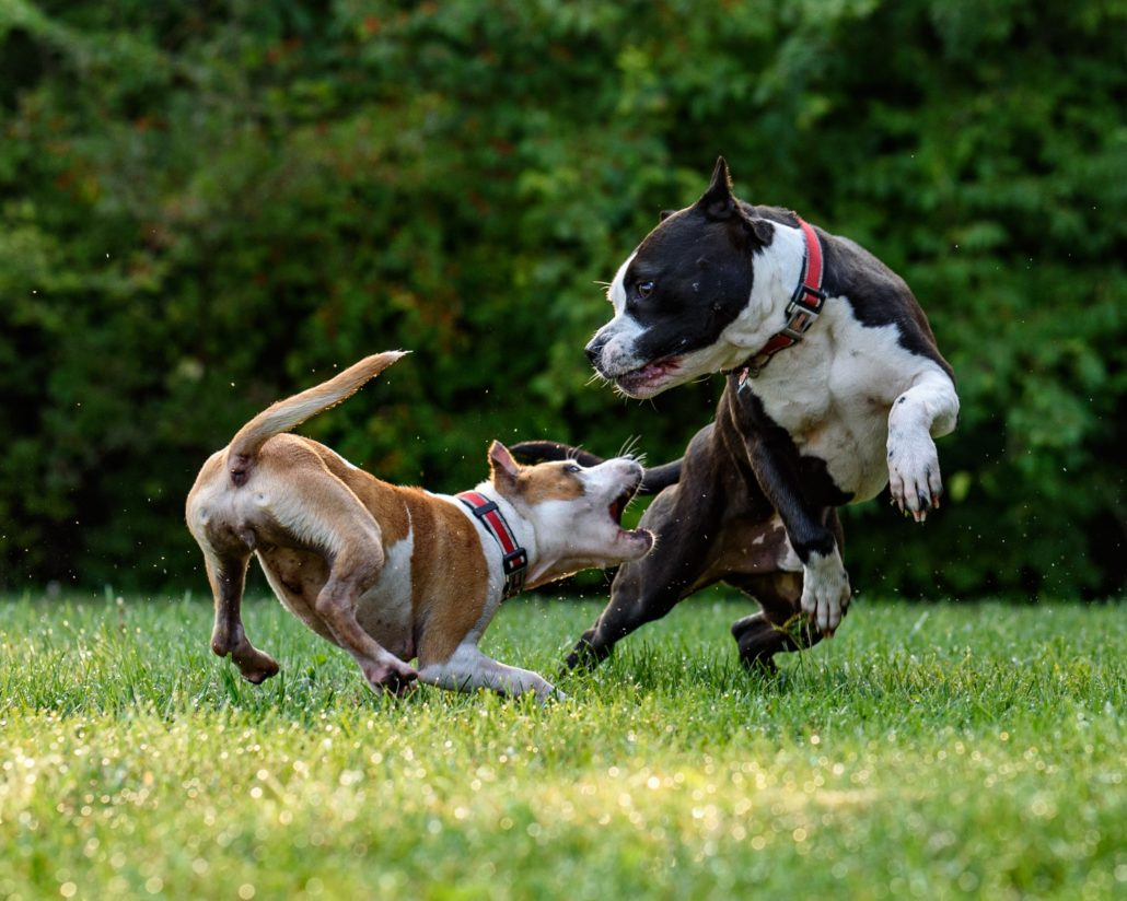 FitBark_dogs_multiple_play_fight-1030x824 | 5 Steps to Introducing a New Dog to Other Pets