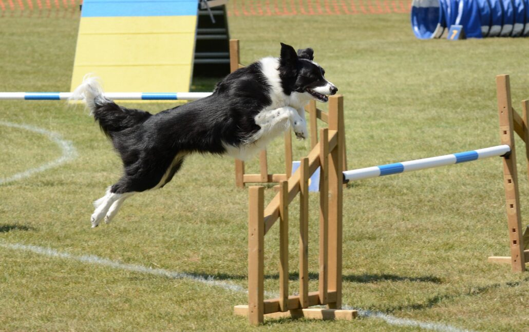 FitBark_agility_border_collie-1030x647 | Human-Dog Sports for Dog Owners on the Move