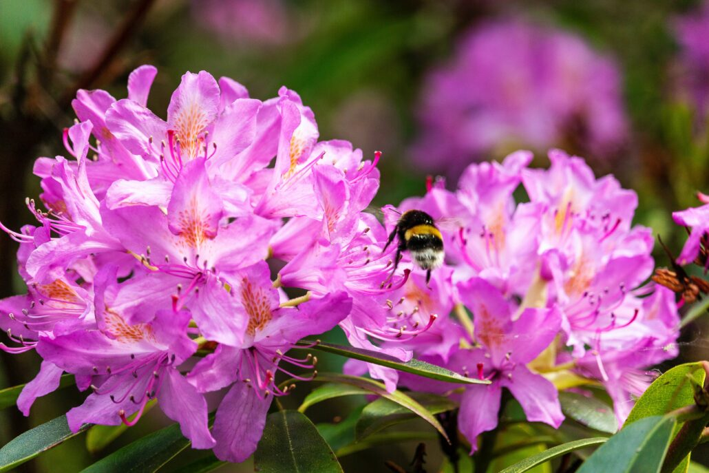 FitBark_flower_-Rhododendron-1030x687   Worst Plants for Pet Owners