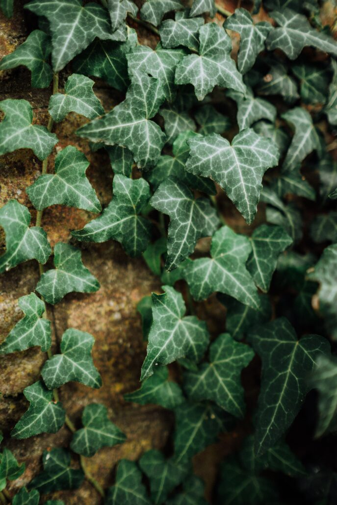 FitBark_flower_english_ivy-687x1030   Worst Plants for Pet Owners