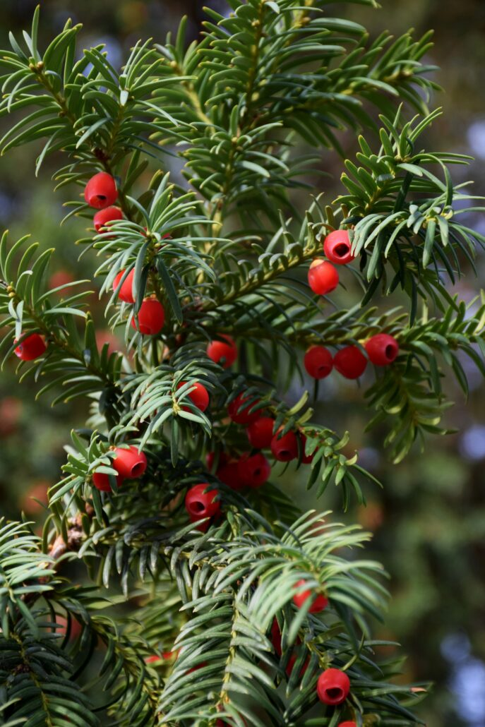 FitBark_flower_yew-687x1030   Worst Plants for Pet Owners