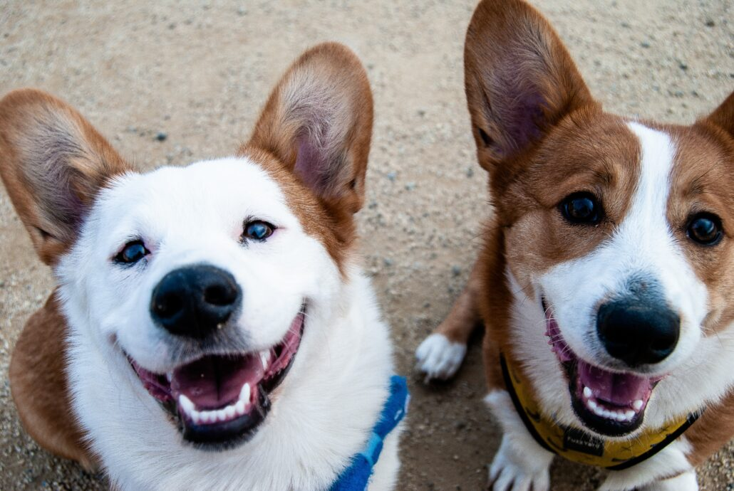 FitBark_corgies_outside_sitting-1030x690   7 Tips To Help You Grow Dog Care Business