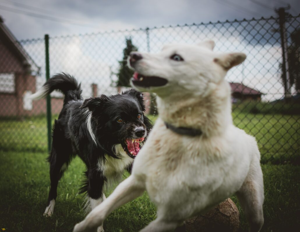 Fitark_dog_aggressive_white-1030x797   How To Break Up A Dog Fight